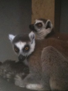 CARE lemurs, Jan 2012