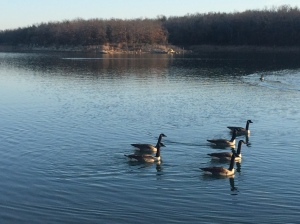 Wild geese in Ok